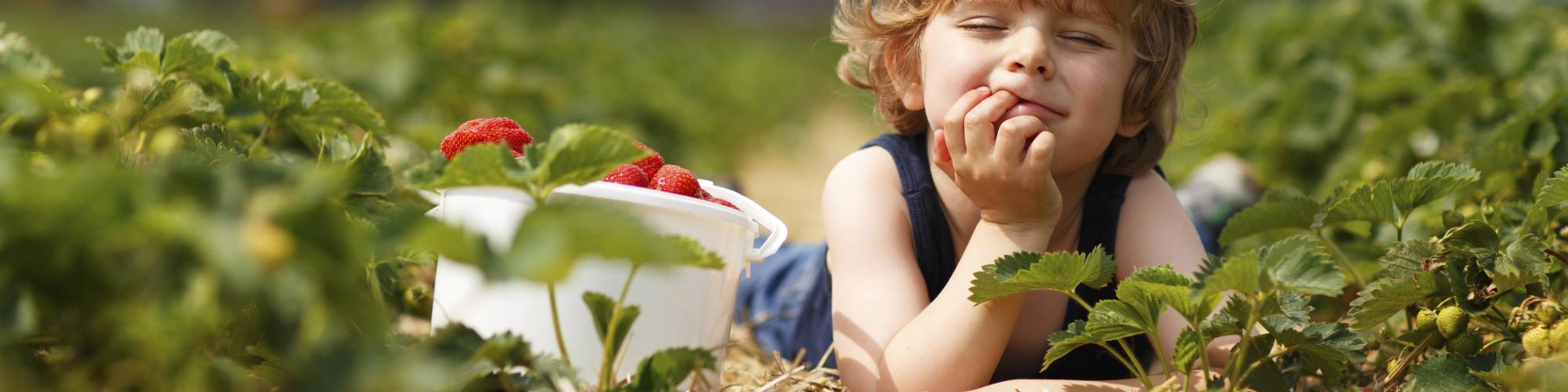 Petit garçon, cueillette de fraises, Ferme